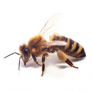 הדברת דבורים - איך נראית דבורה?